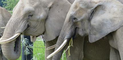 Kurios: Zahnwechsel sorgt bei Elefanten für Jojo-Effekt