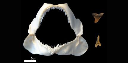 Fossilhai: Rätsel um einzigartige Zahnstruktur gelöst