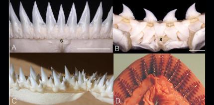 Haie: Zähne wie am Fließband