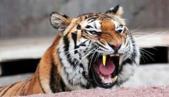 Ein Tiger mit Goldzahn: Auch Raubtiere müssen mal zum Zahnarzt