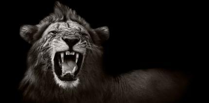 """Zahnweh machte """"Löwen von Tsavo"""" zu Menschenfressern"""