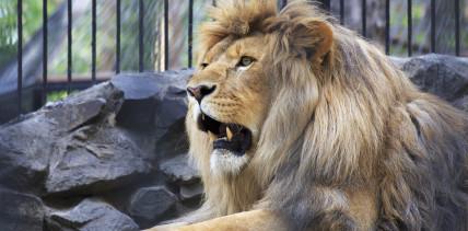 Rettungsaktion: Zahnarzt führt schwere OP bei einem Löwen durch