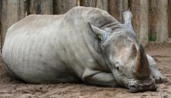 Alte Nashorndame übersteht Zahn-OP