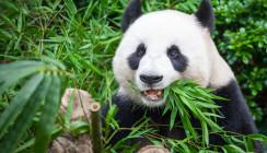 Zahnschmelz des Pandas als Vorbild für Zahnersatz
