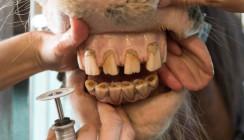 Zahnbehandlung bei Pferden begann vor 3.000 Jahren