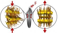 Das Geheimnis starker Zähne: Nanostrukturen unter Spannung