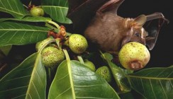 Fledermauszähne: Traumgebiss trotz zuckerreicher Ernährung