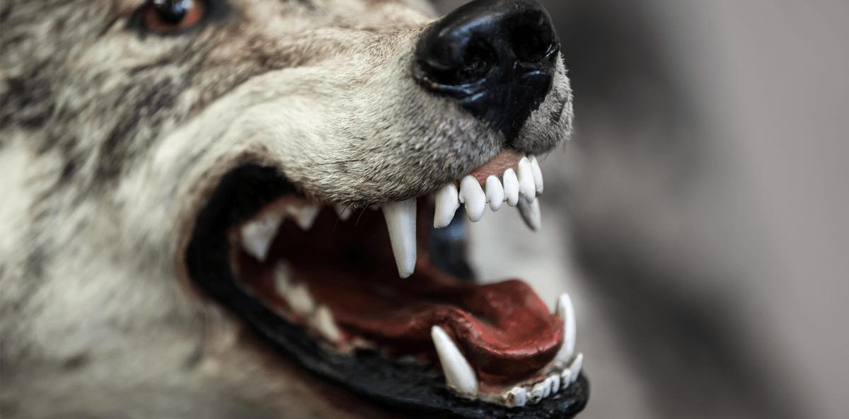 Vorsicht bissig: Zahnarzt behandelt Wolf - ZWP online - das ...