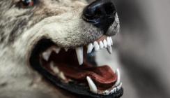 Vorsicht bissig: Zahnarzt behandelt Wolf