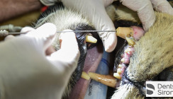 Löwen, Delfine & Co.: Tierische Wurzelbehandlung von Dentsply Sirona