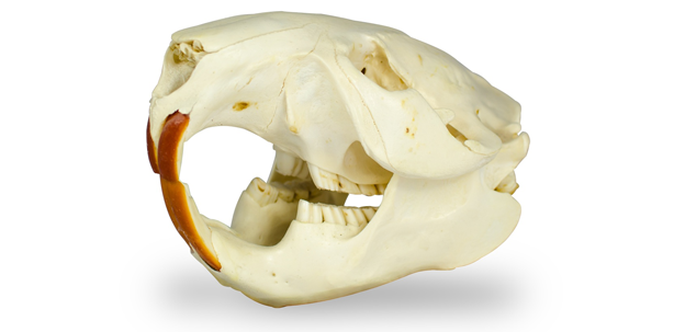 Eisen als Schlüsselfaktor für starken Zahnschmelz