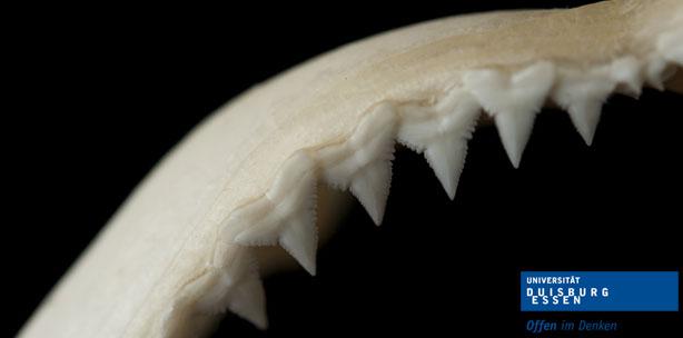 Menschliche Zähne genauso robust wie Haifischzähne